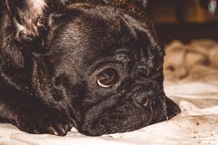 Poco perro del color negro con los ojos preciosos y los oídos grandes Bozal arrugado pedigrí Raza de Kan Corso, dogo francés pet fotos de archivo