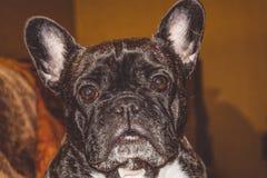 Poco perro del color negro con los ojos preciosos y los oídos grandes Bozal arrugado pedigrí Raza de Kan Corso, dogo francés pet fotos de archivo libres de regalías