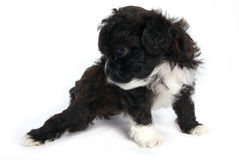 Poco perro lindo del perrito de Shihtzu en aislado foto de archivo libre de regalías