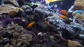 Poco pescados coloridos y otros en el cierre coralino