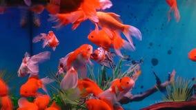 Poco pescados rojos en acuario