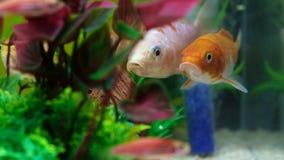 Poco pesce in carro armato di pesce o acquario, pesce dell'oro, guppy e pesce rosso, carpa operata con la pianta verde, vita suba video d archivio
