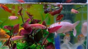 Poco pesce in carro armato di pesce o acquario, pesce dell'oro, guppy e pesce rosso, carpa operata con la pianta verde, vita suba stock footage