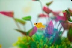 Poco pesce di Molly, latipinna di Poecilia in carro armato di pesce o acquario fotografia stock libera da diritti