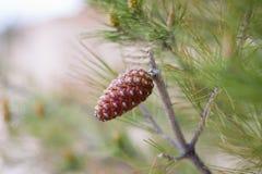 Poco pinecone su un albero immagine stock