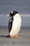 Poco pinguino di Gentoo Ritratto verticale Immagini Stock Libere da Diritti