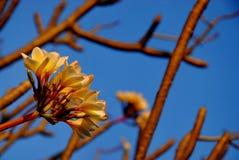Poco Plumeria rojo Foto de archivo libre de regalías