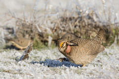 Poco pollo de pradera en hielo cubrió la hierba de pradera Fotografía de archivo