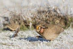 Poco pollo di prateria nell'erba di prateria coperta di ghiaccio Fotografia Stock