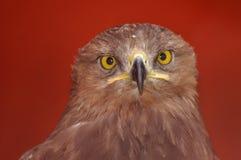 Poco pomarina manchado del águila, de Aquila) Imágenes de archivo libres de regalías
