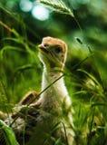 Poco poult lindo del pavo que permanece en la hierba fotografía de archivo