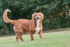 Poco profilo del cane del fiume fotografia stock libera da diritti