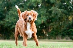 Poco profilo del cane del fiume fotografie stock libere da diritti