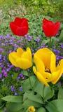 Poco racimo de tulipanes amarillos y rojos Fotografía de archivo