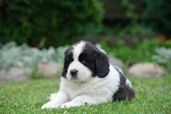 Poco retrato del perrito de Landseer Imagenes de archivo