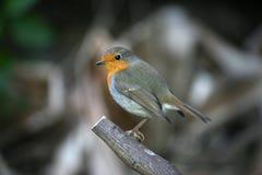 Poco Robin su un ramo Immagini Stock
