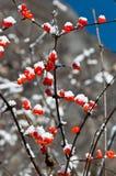 Poco rojo berried Fotografía de archivo