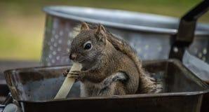 Poco scoiattolo del terreno boscoso Fotografie Stock