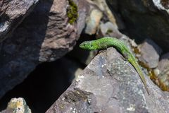 Poco subidas del lagarto sobre las rocas a la cueva fotos de archivo