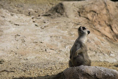 Poco suricate salvaje en alarma Imágenes de archivo libres de regalías