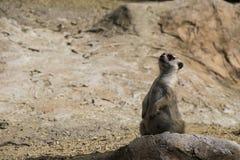 Poco suricate selvaggio sull'allarme Immagini Stock Libere da Diritti