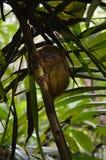 Poco Tarsier sull'isola Bohol in Filippine fotografia stock