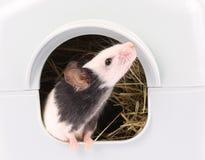 Il piccolo topo che lo esce è foro Fotografia Stock Libera da Diritti
