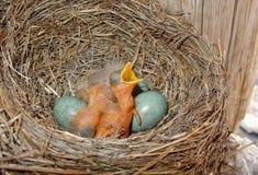 Poco uccellino implume non protetto selvaggio del tordo nel nido dell'erba con le uova blu che cinguetta con la bocca gialla aper Immagini Stock Libere da Diritti
