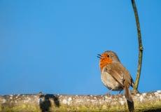 Poco uccello di canto Robin su un ramo di albero fotografia stock libera da diritti