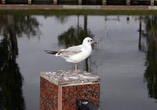Poco uccello, gabbiano nello stagno della città fotografia stock