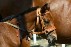 Poco vecchio piccolo cavallo di settimane (foal, puledro) con il segnalatore acustico Fotografie Stock Libere da Diritti