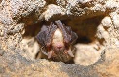 Poco vespertilio maggiore (blythii del Myotis) Fotografie Stock Libere da Diritti