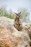 Poco wallaby di roccia nell'ambiente naturale Immagine Stock