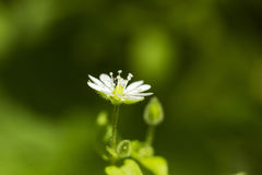 Poco wildflower blanco del verano en verde empañó el fondo Fotografía de archivo