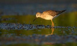 Poco yellowlegs fotografia stock