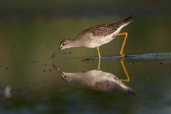 Poco yellowlegs immagine stock