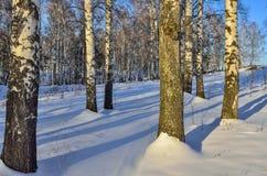 Pocos abedules al borde del bosque del invierno en la luz del sol Fotografía de archivo