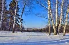 Pocos abedules al borde del bosque del invierno en la luz del sol Imágenes de archivo libres de regalías