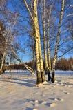 Pocos abedules al borde del bosque del invierno en la luz del sol Fotografía de archivo libre de regalías