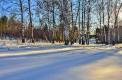 Pocos abedules al borde del bosque del invierno en luz del sol Imágenes de archivo libres de regalías