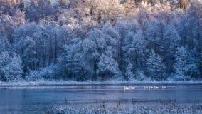 Pocos cisnes en la salida del sol en el lago congelado Imágenes de archivo libres de regalías