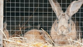 Pocos conejos nuevamente nacidos con su funcionamiento de la mamá y comer en jaula almacen de metraje de vídeo