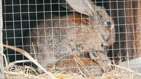 Pocos conejos nuevamente nacidos con su funcionamiento de la mamá y comer en jaula almacen de video
