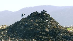 Pocos cuervos del negro encima de una pila de descarga de basura