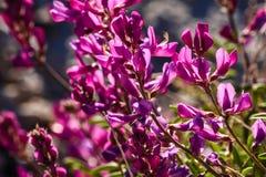 Pocos florecieron el Locoweed de Milkvetch en el monumento nacional de Colorado Imagen de archivo
