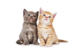 Pocos gatitos británicos del shorthair Fotografía de archivo libre de regalías