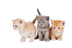 Pocos gatitos británicos del shorthair Imagen de archivo
