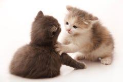 Lucha de gatos Imagen de archivo libre de regalías