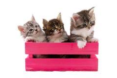 Pocos gatitos del coon de Maine Fotografía de archivo
