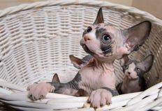 Pocos gatos de Sphynx dentro de una cesta de madera Imagen de archivo